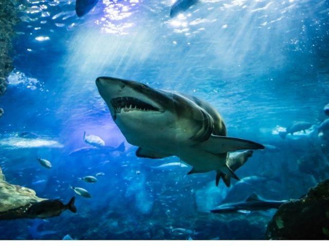 海を泳ぐサメ